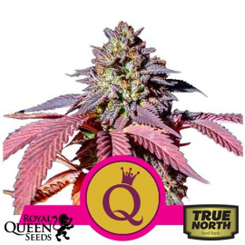 Purple Queen Feminized Seeds (Royal Queen Seeds)