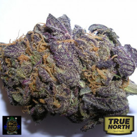 BC Purple Star REGULAR Seeds (BC Bud Depot)