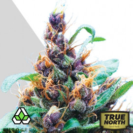AUTO Purple Stilton FEMINIZED Seeds (Auto Seeds)