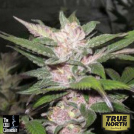 Purple Chem FEMINIZED Seeds (Cali Connection)