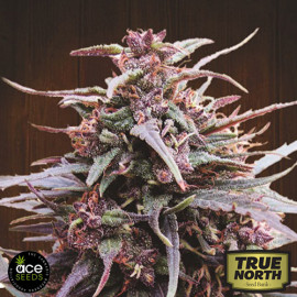 Purple Haze x Malawi Regular Seeds (Ace Seeds)