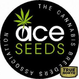 Purple Haze x Panama REGULAR Seeds (Ace Seeds)