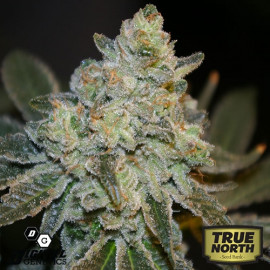 Quebec Poutine REGULAR Seeds (Digital Genetics)