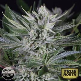 Quick Gorilla Feminized Seeds (Dinafem)