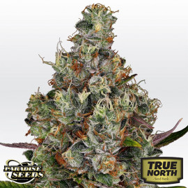 Rainbow Road FEMINIZED Seeds (Paradise Seeds)