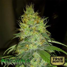 Raspberry Cough REGULAR Seeds (Nirvana Seeds)