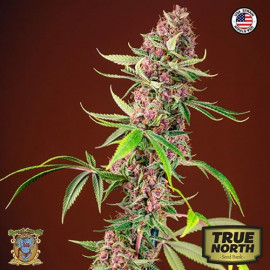 Red Mandarine F1 Fast Version Feminized Seeds (Sweet Seeds)