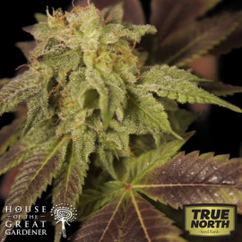 Rene FEMINIZED Seeds (House of The Great Gardener)