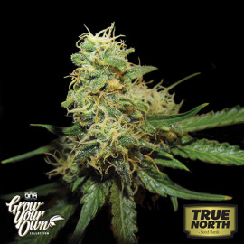 RKS FEMINIZED Seeds (DNA Genetics - Grow Your Own)