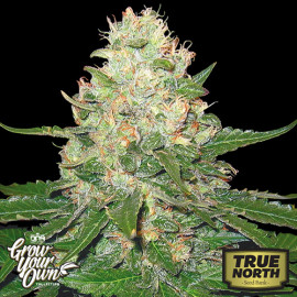 Rocklock FEMINIZED Seeds (DNA Genetics - Grow Your Own)