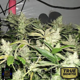 BC Rockstar REGULAR Seeds (BC Bud Depot)