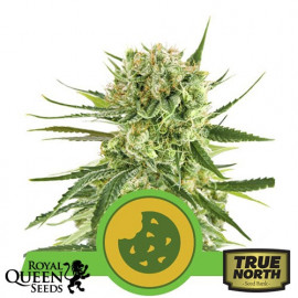 Royal Cookies Automatic Feminized Seeds (Royal Queen Seeds)