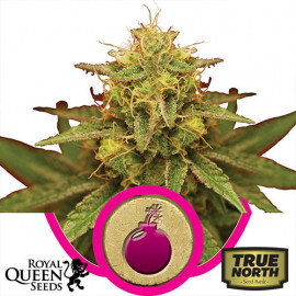 Royal Domina Feminized Seeds (Royal Queen Seeds)