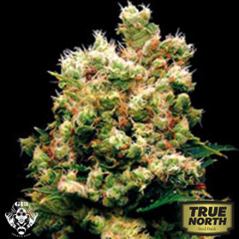 Royal Kush FEMINIZED Seeds (G13 Labs)