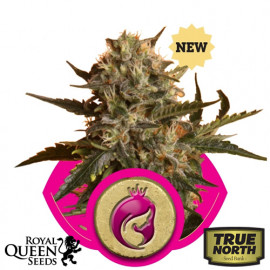 Royal Madre Feminized Seeds (Royal Queen Seeds)