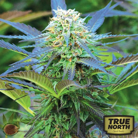 Royal Purple Kush CBD FEMINIZED Seeds (Emerald Triangle)