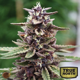 Royal Purple Kush REGULAR Seeds (Emerald Triangle)