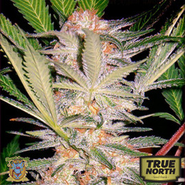 S.A.D. (Sweet Afgani Delicious) Feminized Seeds (Sweet Seeds)