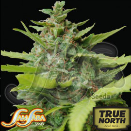 Kiss Dragon FEMINIZED Seeds (Samsara Seeds)