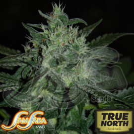 Spicy White Devil FEMINIZED Seeds (Samsara Seeds)