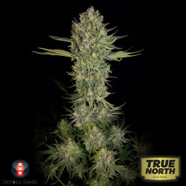 Serious Kush FEMINIZED Seeds (Serious Seeds)