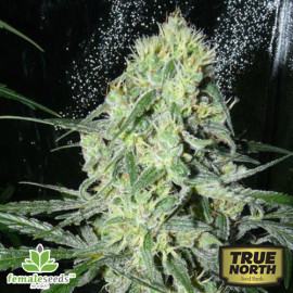 SexBud Feminized Seeds (Female Seeds)