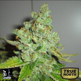 SFV OG Kush FEMINIZED Seeds (Cali Connection)