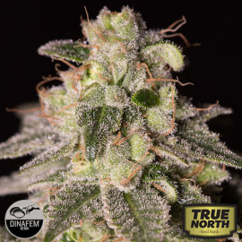 Shark Shock CBD Feminized Seeds (Dinafem)