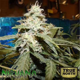 AUTO Short Rider FEMINIZED Seeds (Nirvana Seeds)
