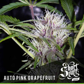 AUTO Pink Grapefruit FEMINIZED Seeds (Shortstuff Seeds)