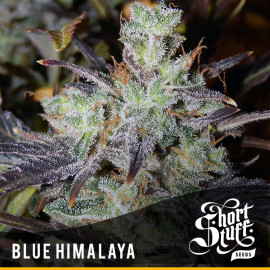 Blue Himalaya AUTOFLOWERING REGULAR Seeds (Shortstuff Seeds)