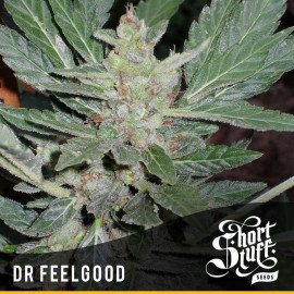 Dr.Feelgood AUTOFLOWERING FEMINIZED Seeds (Shortstuff Seeds)