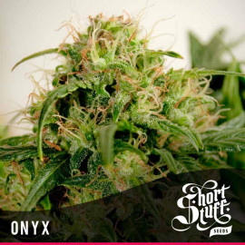 Onyx AUTOFLOWERING FEMINIZED Seeds (Shortstuff Seeds)