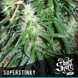 Super Stinky AUTOFLOWERING FEMINIZED Seeds (Shortstuff Seeds)