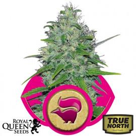 Skunk XL Feminized Seeds (Royal Queen Seeds)