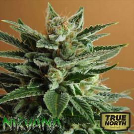 Snow White FEMINIZED Seeds (Nirvana Seeds)