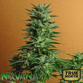 Snow White REGULAR Seeds (Nirvana Seeds)