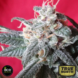Snow Moon FEMINIZED Seeds (Ace Seeds)