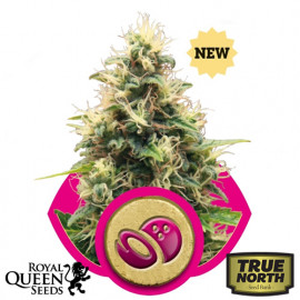 Somango XL Feminized Seeds (Royal Queen Seeds)