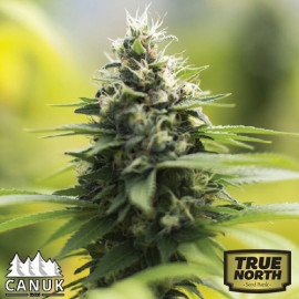 Sour Diesel AUTO FEMINIZED Seeds (Canuk Seeds)