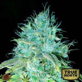 Sour Puss FEMINIZED Seeds (Emerald Triangle)