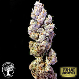 Crockett's Sour Tangie REGULAR Seeds (Crockett Family Farms)