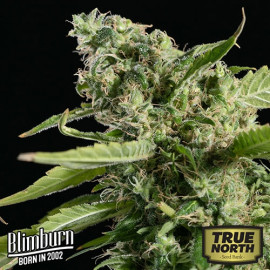 Sour Diesel FEMINIZED Seeds (BlimBurn Seeds)