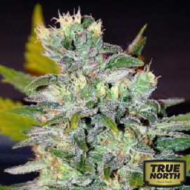 Space Feminized Seeds (World of Seeds)