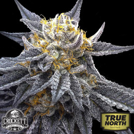 SSOG Feminized Seeds (Crockett Family Farms)