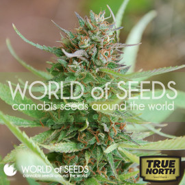 Strawberry Blue Feminized Seeds (World of Seeds)