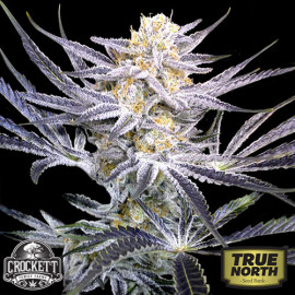 Strawberry Fields REGULAR Seeds (Crockett Family Farms)