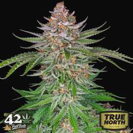 Strawberry Pie Auto Feminized Seeds (FastBuds)