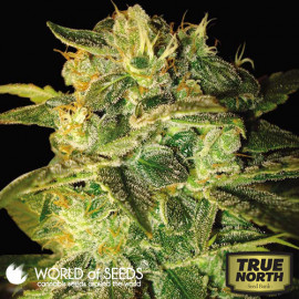 Sugar Mango Ryder Autoflowering Feminized Seeds (World of Seeds)
