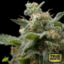 Super Hash FEMINIZED Seeds (Pyramid Seeds)